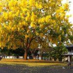 7 things that make Ratchapruek the flower emblem of Thailand